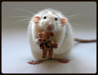 Rat_teddy_01